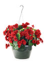 Hanging basket with begonias flowers isolated over a white background Stock Photos