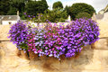 Hanging basket with lobelia flowers Royalty Free Stock Photo
