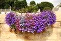 Hanging basket with lobelia flowers Royalty Free Stock Photo