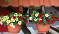 Hanging baskets planted with petunias yellow and red petunia is one of the most popular balcony flowers Stock Photography