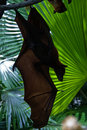 Hanging Bat Royalty Free Stock Image