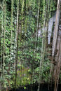 Hanging Cenote Vines Stock Photo