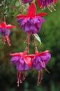 Hanging Fuchsia Royalty Free Stock Photo