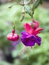 Hanging Fuchsia Flowers Royalty Free Stock Photo