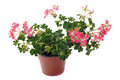 Hanging geraniums Stock Photo