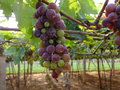 Hanging grape bunches vineyard in a with black grapes for wine making Stock Photo