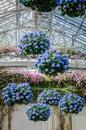 Hanging Hydrangeas - Longwood Gardens - PA