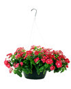 Hanging Impatiens Royalty Free Stock Photo