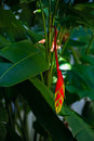 Hanging lobster claw Heliconia rostrata tropical flower bright red yellow green plant flora in Tobago Caribbean