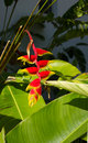 Hanging Lobster-claws plant flower (Heliconia rostrata)