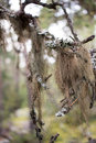 Hanging moss (Usnea) Royalty Free Stock Photo