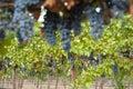 Hanging organic wine grapes, California.