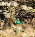 Hanging squirrel steals from bird feeder succeeds in it s birdseed thievery by his rear legs Royalty Free Stock Photos