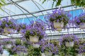 Hanging streptocarpella baskets in greenhouse Royalty Free Stock Photo