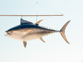 Hanging tuna fish sign a replica as a from a post Royalty Free Stock Image