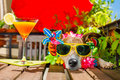 Hangover dog on summer holidays vacation with headache after co Royalty Free Stock Photo