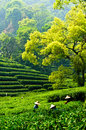 Hangzhou tea garden Stock Photos