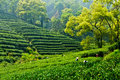 Hangzhou west lake longjing tea garden Royalty Free Stock Image