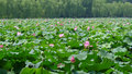 Hangzhou west lake with lotus flowers Royalty Free Stock Photo