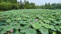 Hangzhou west lake lotus stirred by breeze in quyuan garden one of the ten scenes of lake,lotus Royalty Free Stock Image