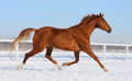 Hanoverian horse running on snow manege sorrel Royalty Free Stock Photography