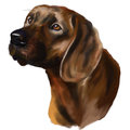 Hanoverian scenthound head hunting dog Royalty Free Stock Image
