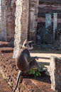 Hanuman grey langur staring ahead ancient city polonnaruwa sri lanka unesco world heritage site Stock Images
