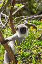 Hanuman Langur Stock Photos