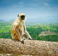 Hanuman langur semnopithecus entellus on kumbhalgarh fort ramparts rajasthan india Stock Image