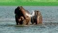Happily bathing romantic elephant couple splashing water Royalty Free Stock Photo
