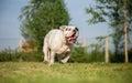 Happiness overdose bulldog in run Royalty Free Stock Image