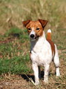 Happy active months young jack russel terrier dog white and brown playing on a green grass area making serious face ready to run Royalty Free Stock Images
