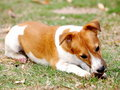 Happy active young jack russel months terrier dog white and brown playing on a green grass area making serious face ready to run Stock Photo