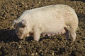 Happy adult female pig rooting in mud Royalty Free Stock Photo
