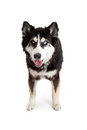 Happy and Attentive Alaskan Malamute Crossbreed Dog Royalty Free Stock Photo