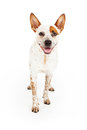 Happy australian cattle dog standing against a white background with a smile Stock Photo