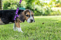 Happy beagle dog on a natural green background of tropical Bali island, Indonesia.