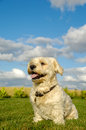 Happy Bichon Havanais dog Royalty Free Stock Photo