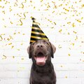 Happy birthday card crazy dog with party hat is smiling in de ca Royalty Free Stock Photo