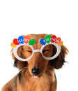 Happy birthday puppy funny dachshund with eyes closed and tongue sticking out Stock Image