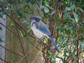 Happy Blue Jay Resting on a Branch Royalty Free Stock Photo