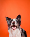 Happy blue merle border collie dog on orange background smiles an Royalty Free Stock Photo