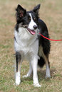 Happy border collie dog alert sheepdog standing on a lead Royalty Free Stock Images