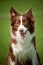 Happy border collie dog in summer day Royalty Free Stock Photos