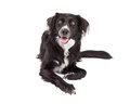 Happy Border Collie Mix Breed Dog Laying Royalty Free Stock Photo