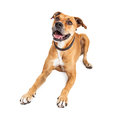 Happy Boxer Crossbreed Dog Laying Over White Royalty Free Stock Photo