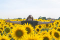 Happy boy at sunflowers field Royalty Free Stock Photo