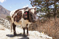 Happy brown and white himalayan cow on the trail to everest base camp Stock Photos