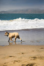 Happy Bull-Dog Playing On The ...