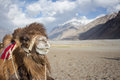 Happy camel is smiling and facing to the camera. Royalty Free Stock Photo